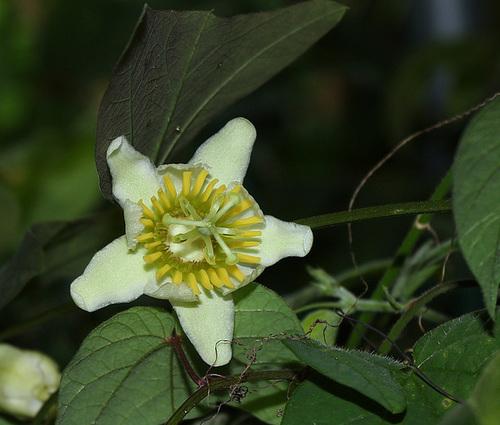 Passiflora biflora (3)