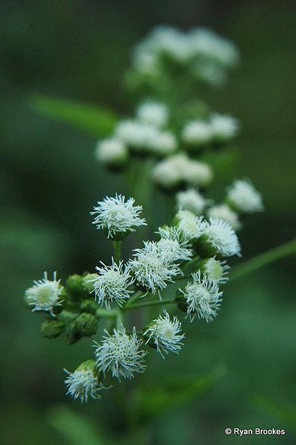 20090921-0161 Ageratina adenophora (Spreng.) R.M.King & H.Rob.