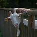 Ziege im Hochwildpark Rheinland