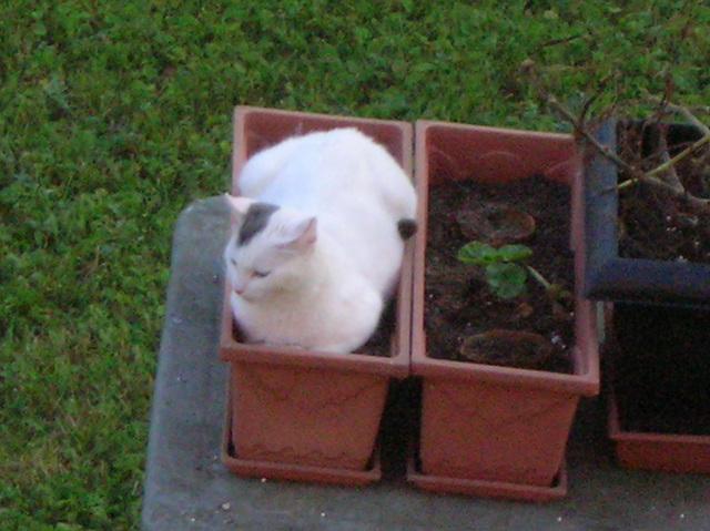 chat dans pot de fleur