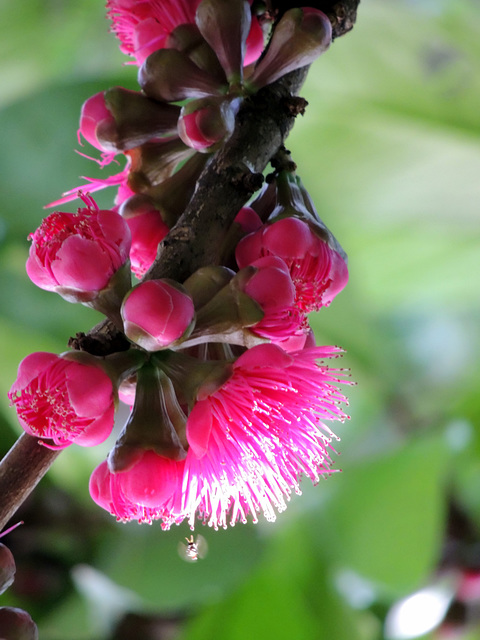 Malay Apple Flower