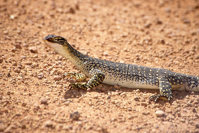 Another young monitor lizard