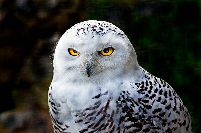 Schneeeule / Snowy Owl / Harfang des neiges