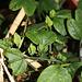 Passiflora aurantia (4)