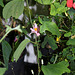 Passiflora tulae JPG (2)