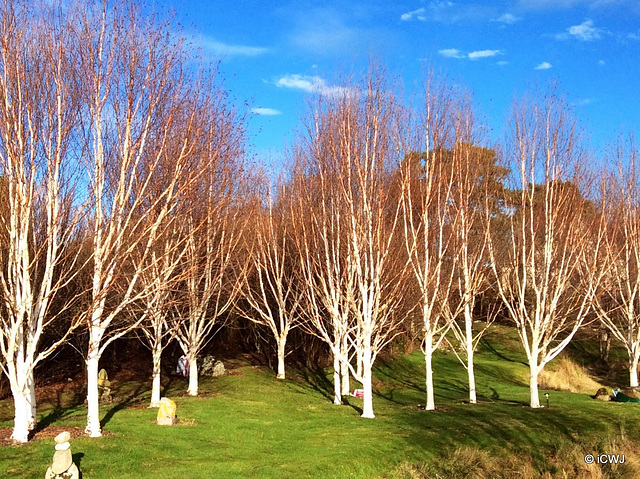 Betula Jacquemontii in their winter colours