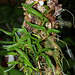 Epidendrum polybulbon  (3)