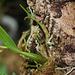 Epidendrum polybulbon  (4)