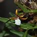 Epidendrum polybulbon