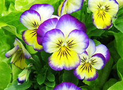 Violas by My Lovely Wife (Explored)