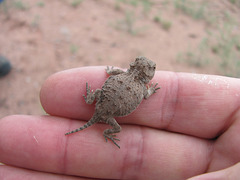 Great Horny Toads!