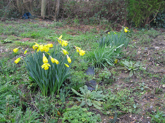 Daffodils and glimpse of snowdrops