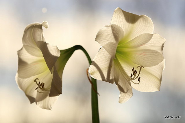 Amaryllis in full bloom, backlit by the sun