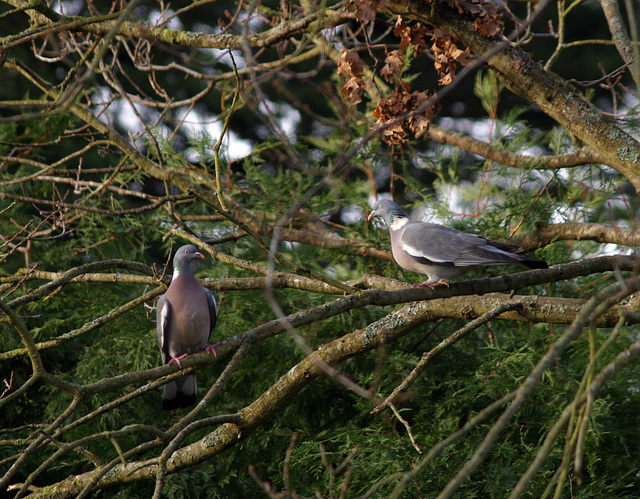 Just friends, pigeons in a tree