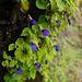 20090922-0103 Rhynchoglossum notonianum (Wall.) B.L. Burtt