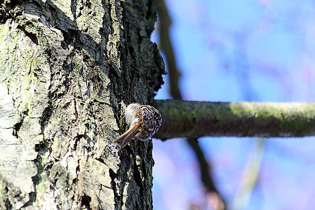 20140209 0018VAK²w [D-BS] Waldbaumläufer (Certhia familiaris), Bad Salzuflen