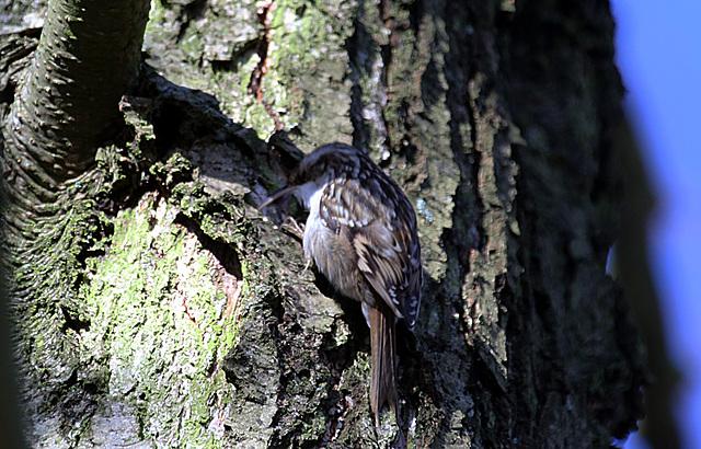 20140209 0019VAK²w [D-BS] Waldbaumläufer (Certhia familiaris), Bad Salzuflen