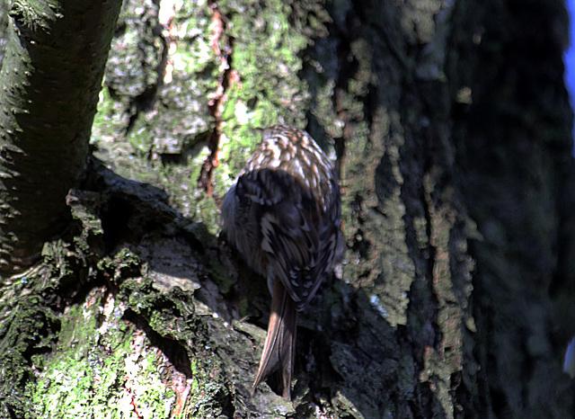 20140209 0020VAK²w [D-BS] Waldbaumläufer (Certhia familiaris), Bad Salzuflen