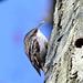 20140209 0021VAK²w [D-BS] Waldbaumläufer (Certhia familiaris), Bad Salzuflen