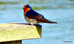 Swallow by river