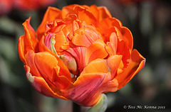 Tulipa ( Orange Princess ) 162 copy