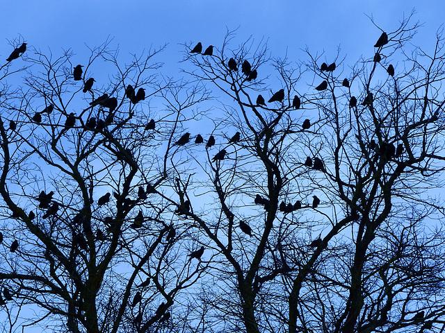 Blue Birds - 14 December 2013