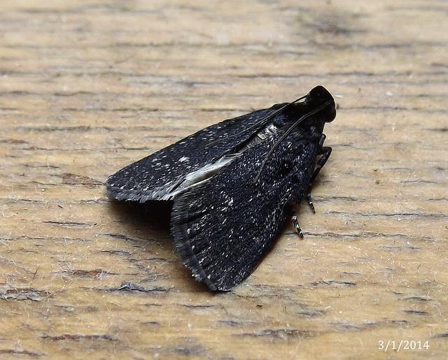 Stericta carbonalis