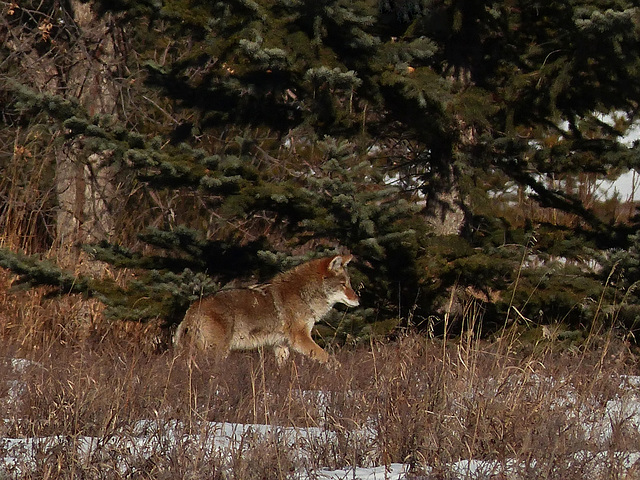 Stealthy Coyote