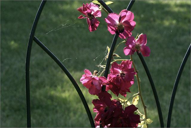 Rose Garden Trellis, with spider