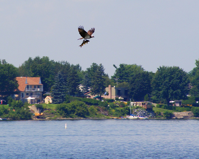 balbuzard pêcheur/osprey