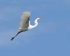 egret/grande aigrette