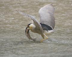 bihoreau gris/black-crowned night heron