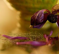 Fleur du Lac Céleste