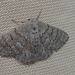 Geometridae seen last in March 2013