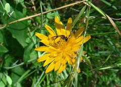 Bee on a Krigia