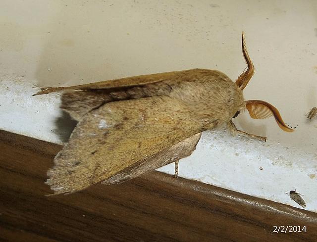 Entometa apicalis (Gum Snout Moth)