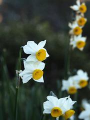 Daffodils (p1053716)