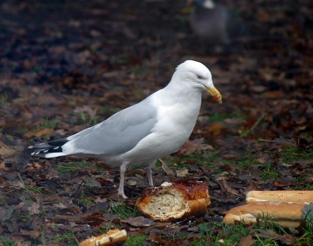 Garden visitor - Herring gull