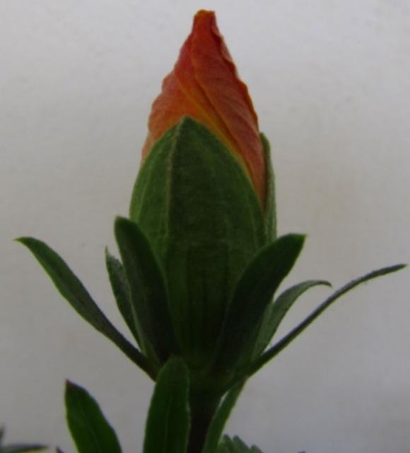 Bouton d' hibiscus