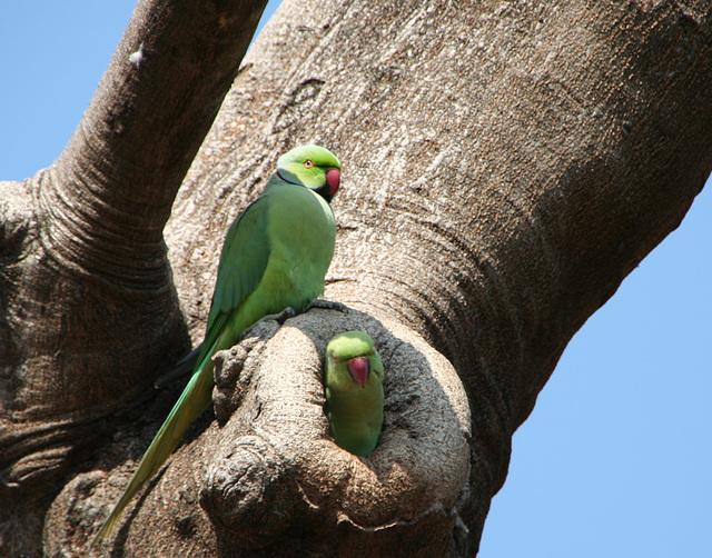 Rose-Ringed Parakeets