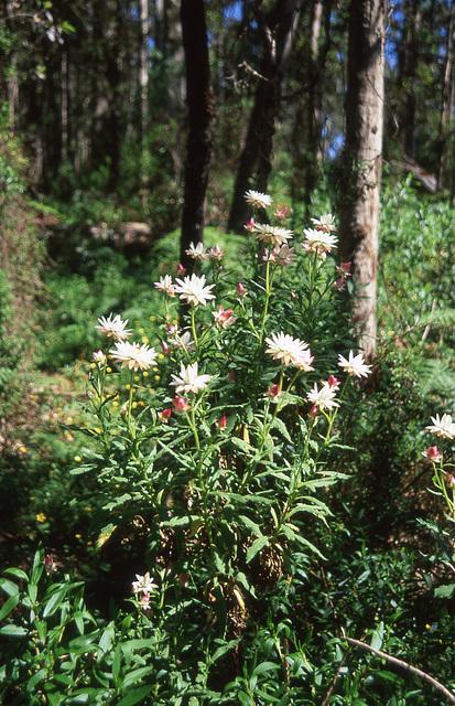 Everlasting Flowers (Helichrysum)