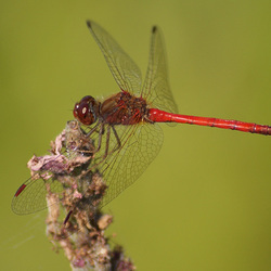 sympetrum rubigineux mâle/male saffron-winged meadowhack