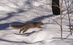 écureuil gris/grey squirrel