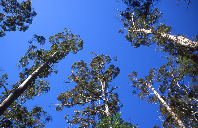 Tall Eucalyptus grove