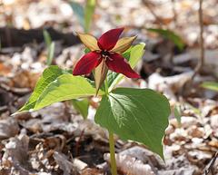 trille rouge/red trillium