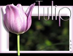 Tulip, pink