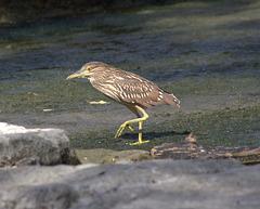 bihoreau gris immature/immature black-crowned night heron