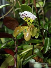 Paphiopedilum boliviana