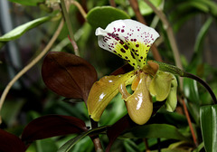 Paphiopedilum boliviana  (2)