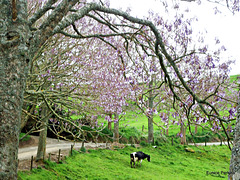 Cow under Jacaranda trees